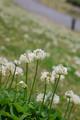 [花]シロツメクサ