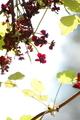 [花]ミツバアケビ