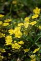[花]ミツバチグリ