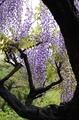[花]フジ