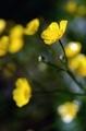 [花]ウマノアシガタ