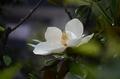 [花]タイサンボク