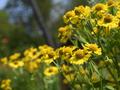[花]ダンゴギク