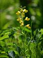 [花]センダイハギ