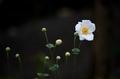 [花]シュウメイギク