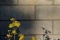 [花]ツワブキ