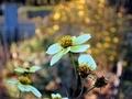 [花]ウインターコスモス