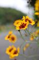 [花]ハルシャギク