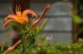 [花]ノカンゾウ