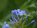 [花]ルリマツリ