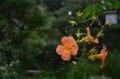[花]ノウゼンカズラ