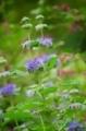 [花]ダンギク