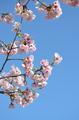 [花]カワヅザクラ