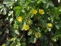 [花]キジムシロ