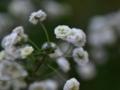 [花]シジミバナ