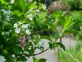 [花]ハコネウツギ