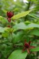 [花]クロバナロウバイ