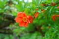 [花]ザクロ