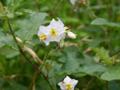 [花]ワルナスビ