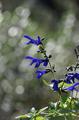 [花]メドーセージ