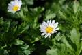 [花]カンシロギク