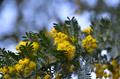 [花]フサアカシア