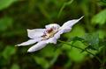 [花]カザグルマ