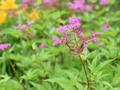 [花]キョウガノコ