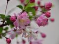 [花]ハナカイドウ