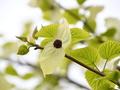 [花]ハンカチの木