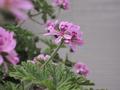 [花]ローズゼラニウム