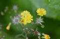 [花]オニタビラコ