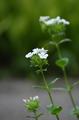 [花]ハマナデシコ