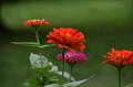 [花]ヒャクニチソウ
