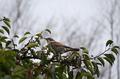 [鳥]ツグミ