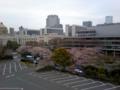 国会図書館の桜。もうちょいですなぁ。・w・