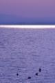 [朝景][琵琶湖][生物]水鳥たち