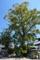 大樹クスノキ