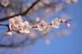 [草花]2014梅その3