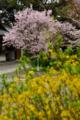 [草花]2014桜その4「京都御苑 宗像神社の桜」