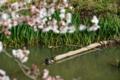 [草花][生物]2014桜その10「春だ!桜だ!甲羅干し!」