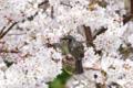 [草花][生物]2014桜その16「ヒヨドリは桜がお好き」
