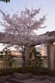 [草花]2014桜その18「ビルに咲く」