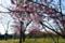 2014桜その20 「ロクハ公園の桜」