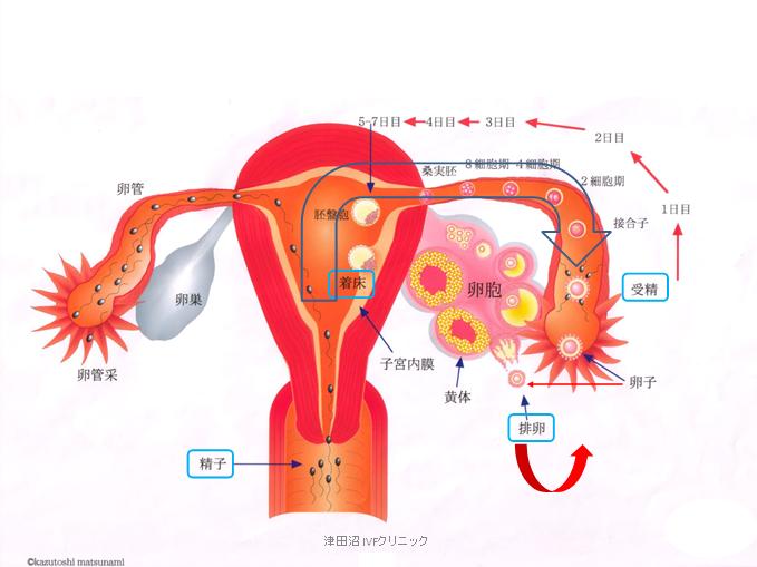 f:id:tsudanuma_ivf_clinic:20210414145903p:plain