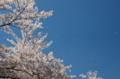 京都新聞写真コンテスト 青空に舞う