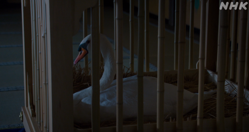 十兵衛と違って籠から出られない白鳥