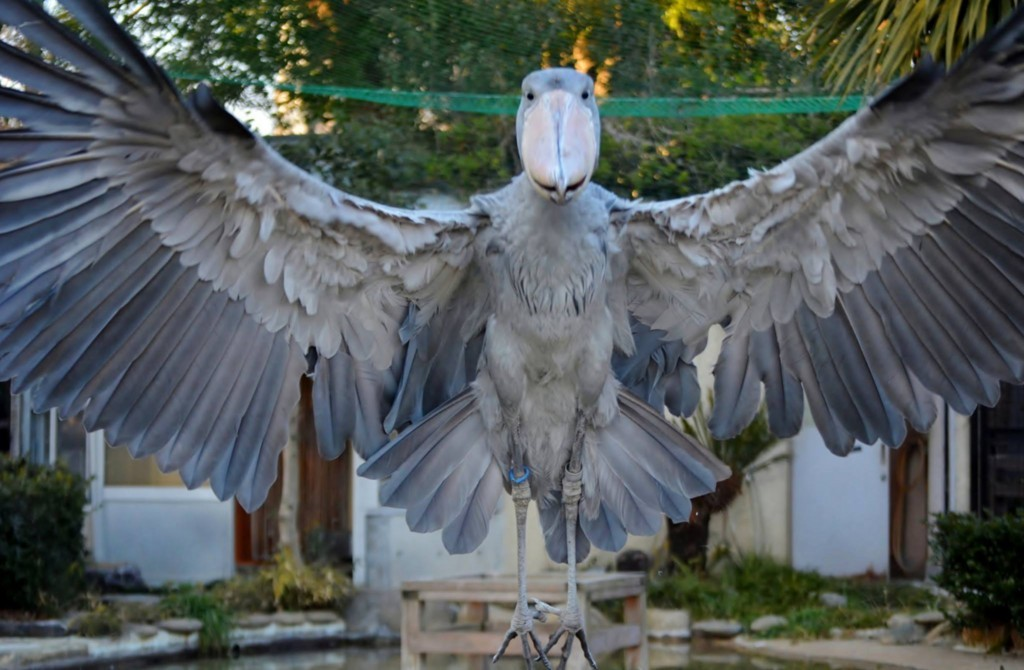 「 Visit ほっと Zoo 2016」で上野動物園園長賞を頂戴したハシビロコウ サーナ(メス)の写真