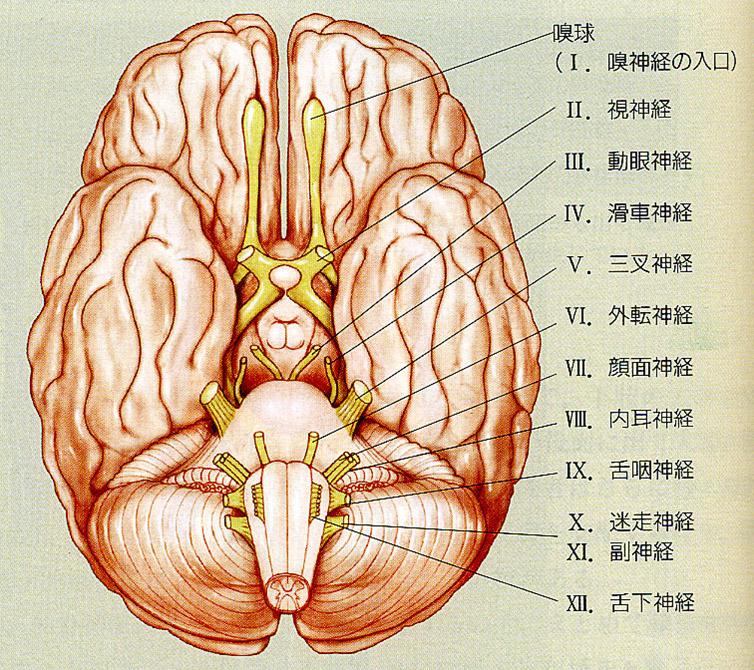 脳神経12対とその覚え方・ゴロ - つねぴーblog@内科専攻医