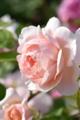 [Ambridge Rose][English Rose]